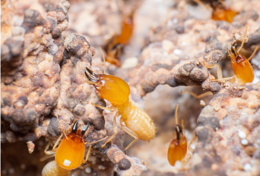 diagnostic-termites