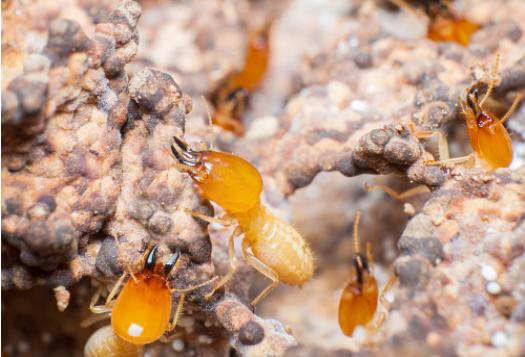 diagnostic-termites